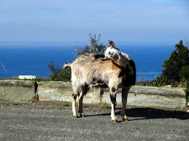 Chêvre Balades en Corse